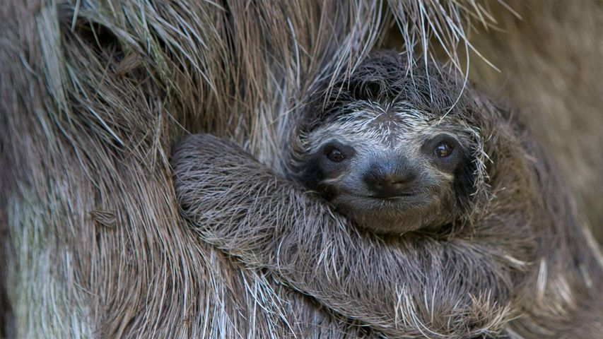 Newborn brown-throated sloth with mother, Sloth Sanctuary of Costa Rica