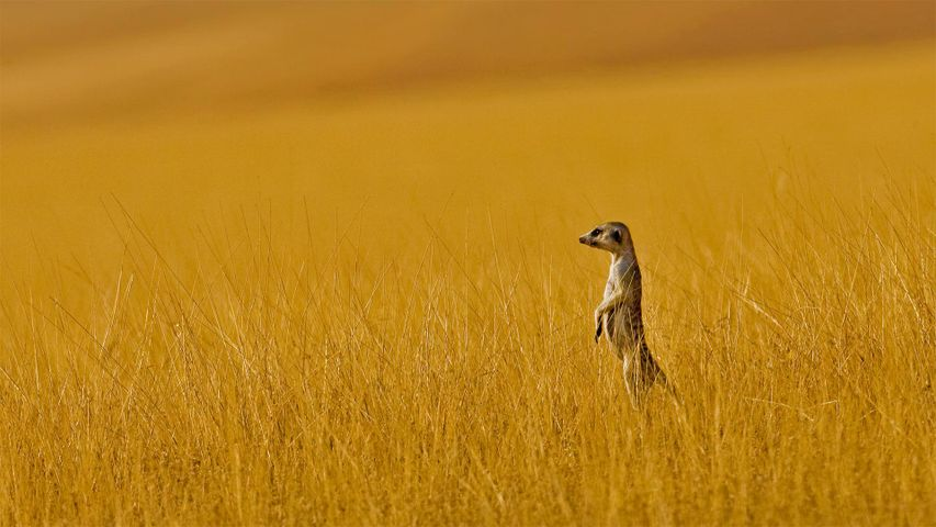 纳米比亚的一只猫鼬