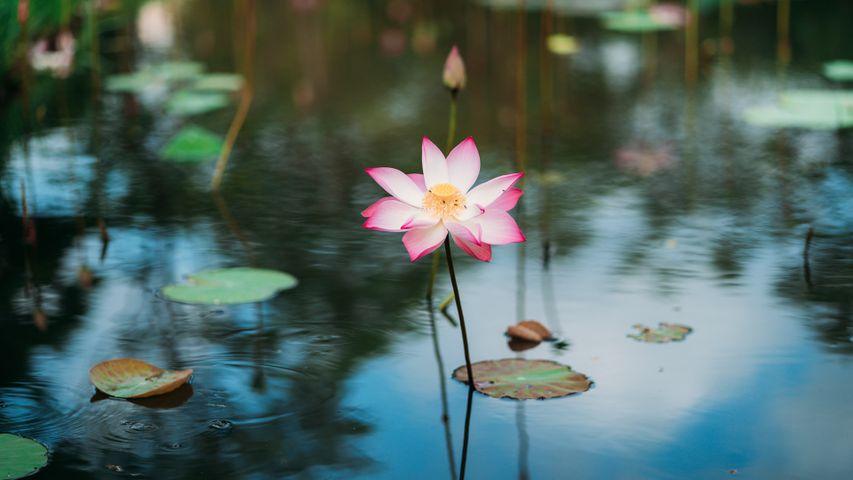 「蓮の花」ベトナム