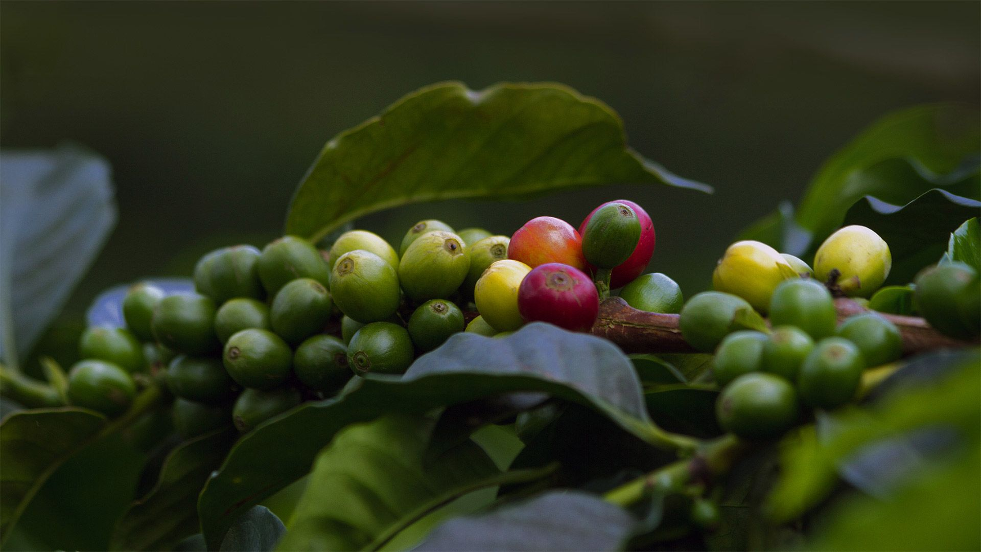 Coffee cherries in Quindío, Colombia