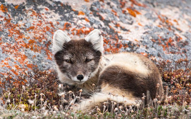animal outdoor mammal grass carnivore dog fox raccoon