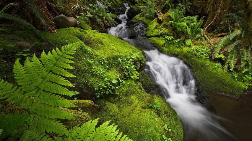 The Quinault Rainforest in Olympic National Park, Washington