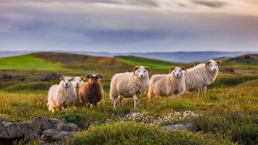 Icelandic sheep ready for réttir