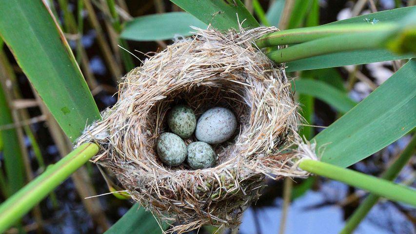 Kuckucksei im Nest eines Teichrohrsängers, Deutschland