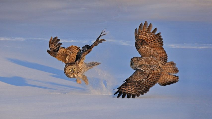 Great gray owls in Montreal, Canada