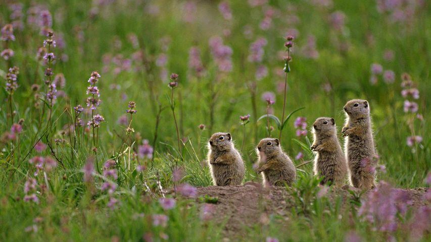 一群站在Tower Fall露营地上的犹因它地鼠,美国黄石国家公园