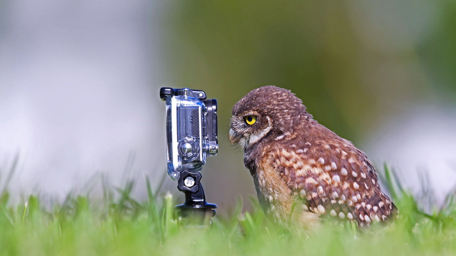 Burrowing owlet posing in Cape Coral, Florida