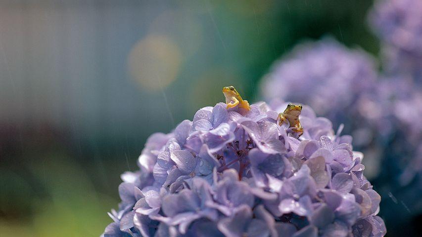 大叶绣球花上的一对日本树蛙,日本滋贺