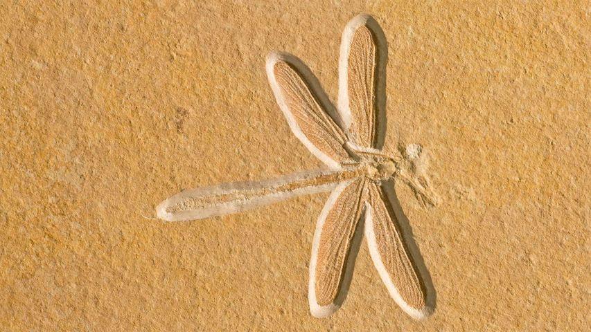 Fossile de libellule vieux de 150 millions d'années, à Solnhofen, Bavière, Allemagne