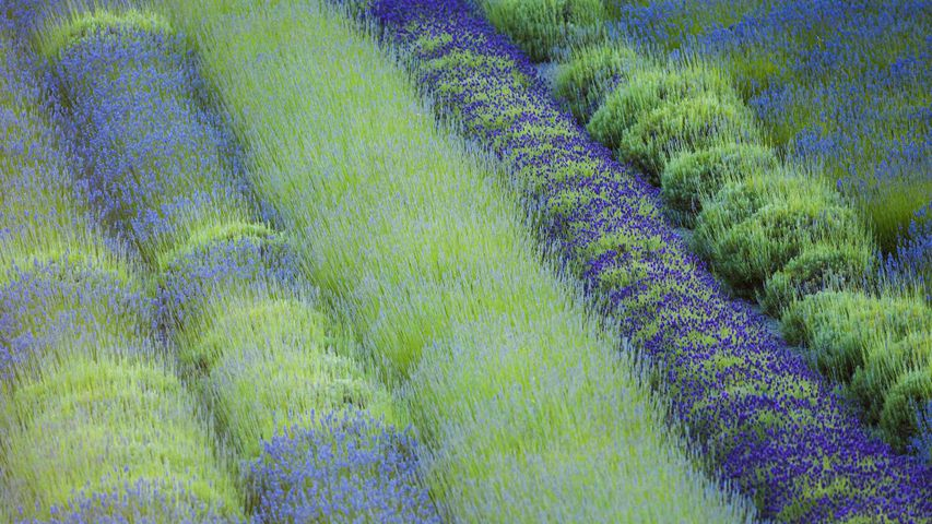 Rows of different lavender plants in a field in the Cowichan Valley in British Columbia