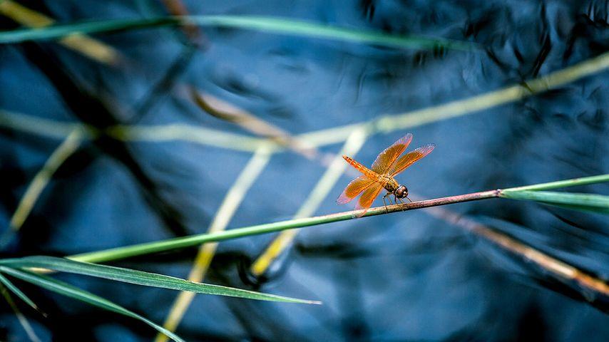 【今日立夏】细竹竿上休憩的红蜻蜓