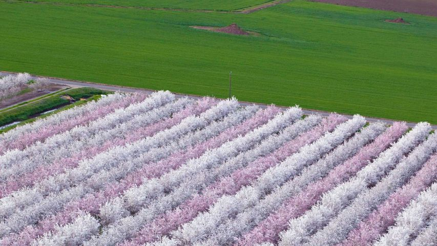 Almond orchards in bloom, Sacramento Valley, California