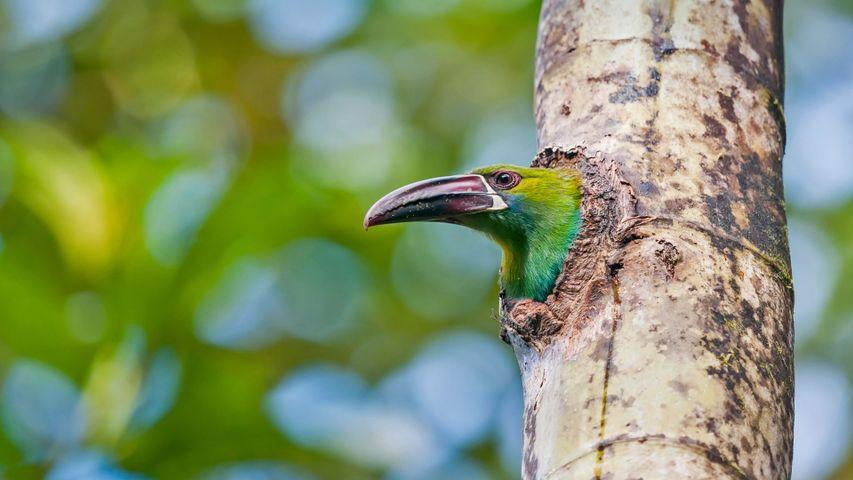 厄瓜多尔的观鸟区内的绯腰巨嘴鸟,厄瓜多尔