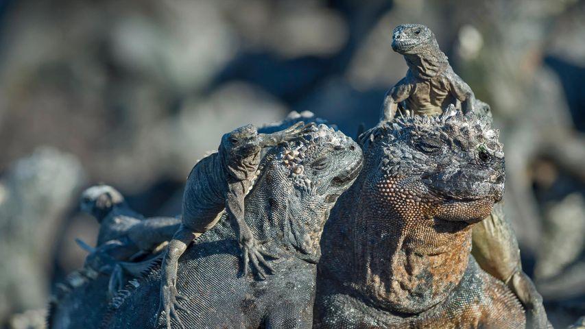 Marine iguanas, Galápagos Islands, Ecuador