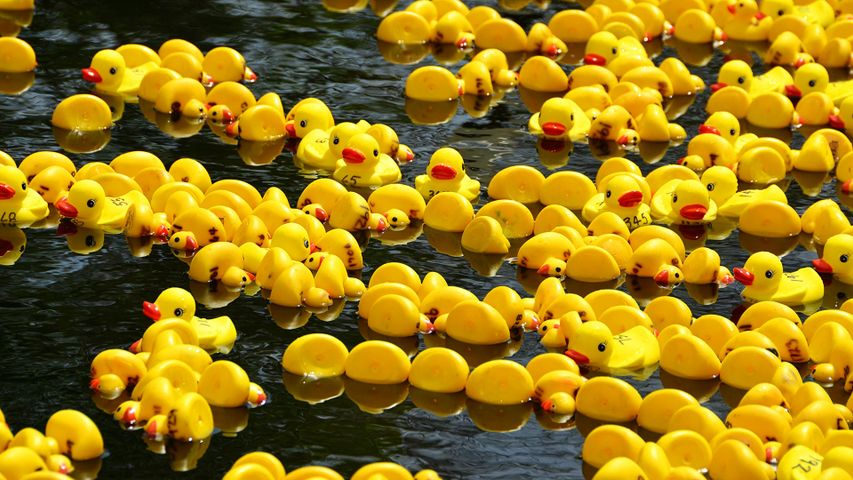 Rubber duck race for Boxing Day