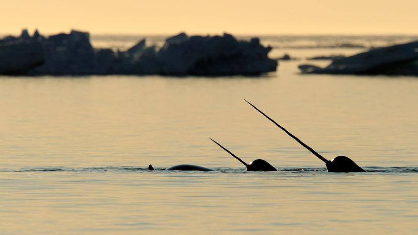 Narwhal (Monodon monoceros) showing tusks above water in Baffin Island, Nunavut