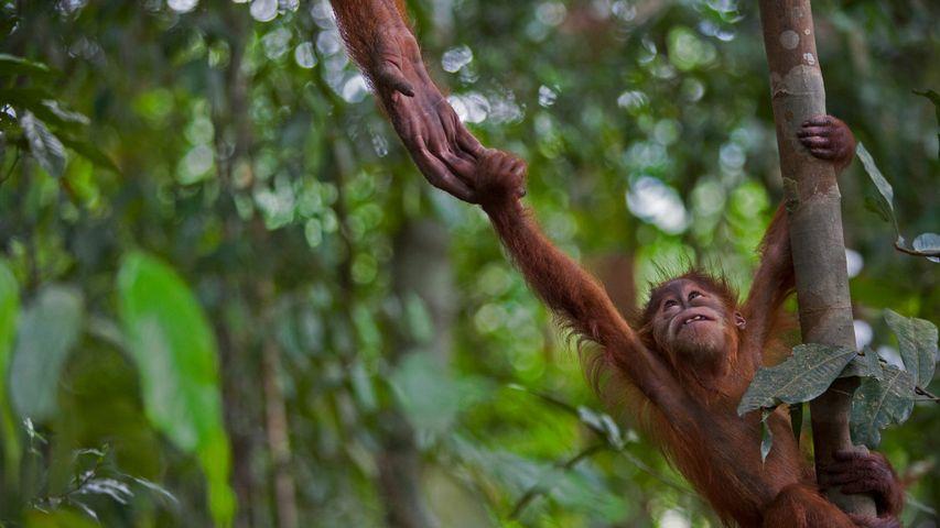 An infant Sumatran orangutan in Gunung Leuser National Park, Indonesia