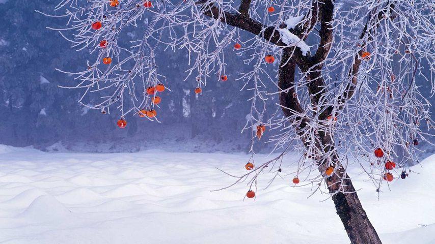 Japanese persimmon tree in winter, Fukushima Prefecture, Japan