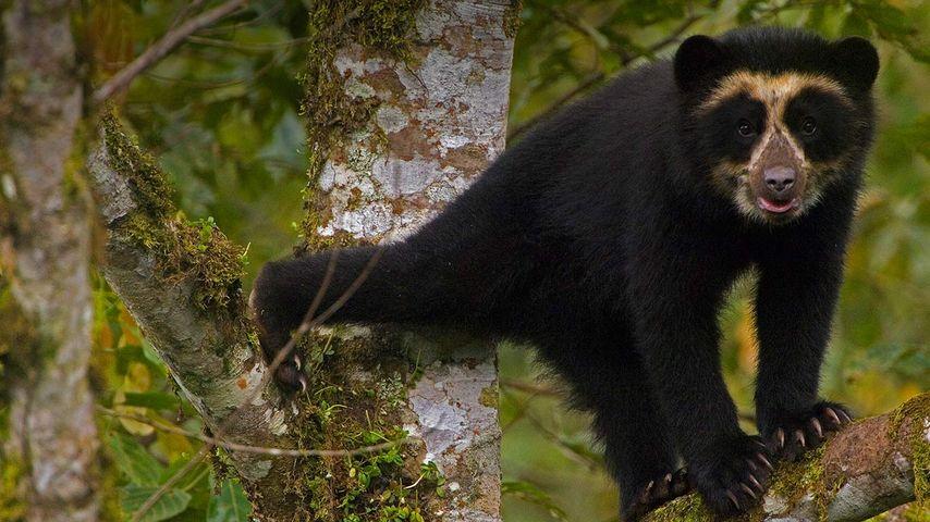 Brillenbär-Junges, Urwald-Reservat Maquipucuna Cloudforest Reserve, Ecuador