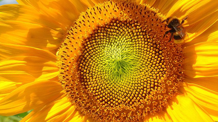 Bumblebee on sunflower near Viechtach, Bavarian Forest, Bavaria, Germany