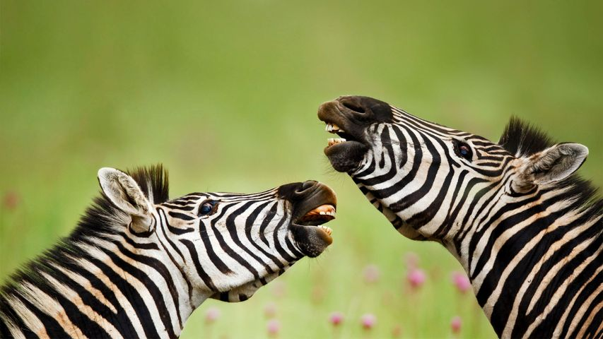 Burchell's zebras, Rietvlei Nature Reserve, South Africa