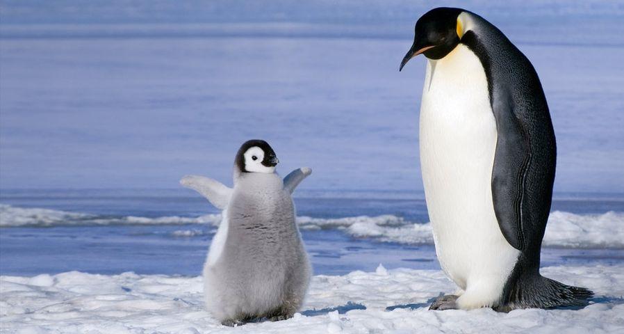 Young emperor penguin