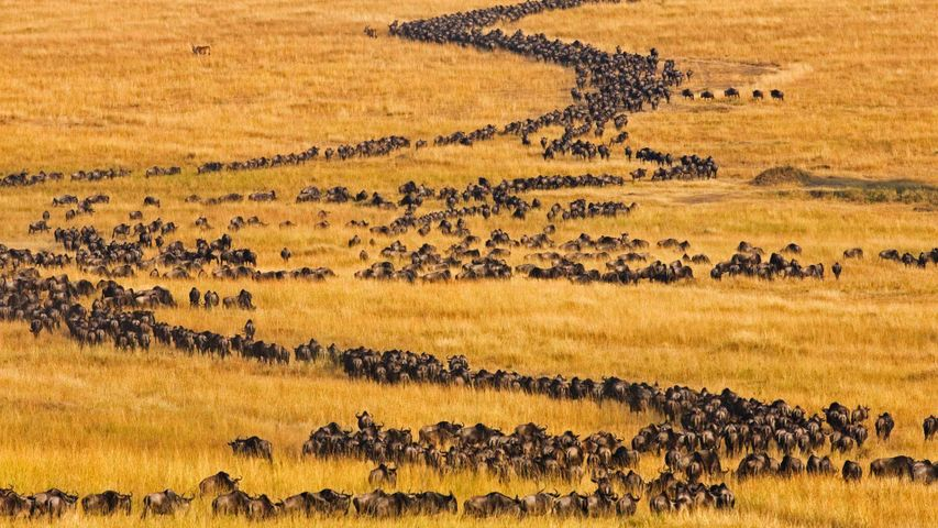 Blue wildebeest on the move for their annual migration in Maasai Mara, Kenya