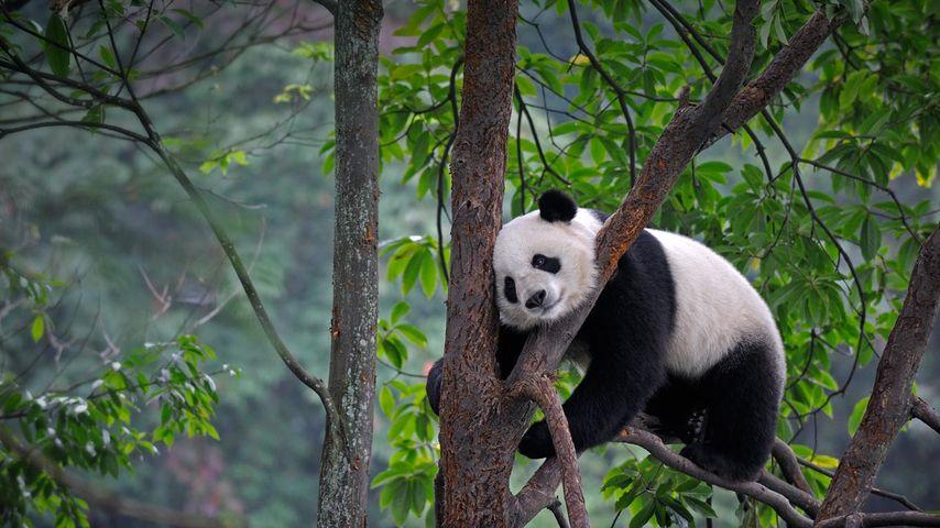 Giant panda at Bifengxia Panda Base in Ya'an, China