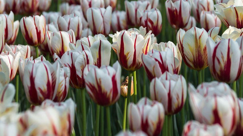 'Maple Leaf' tulips In a garden in Ottawa