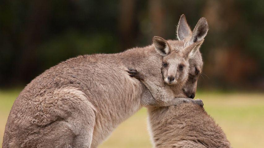 Eine Känguru-Mutter umarmt ihr Junges. Zum Weltknuddeltag
