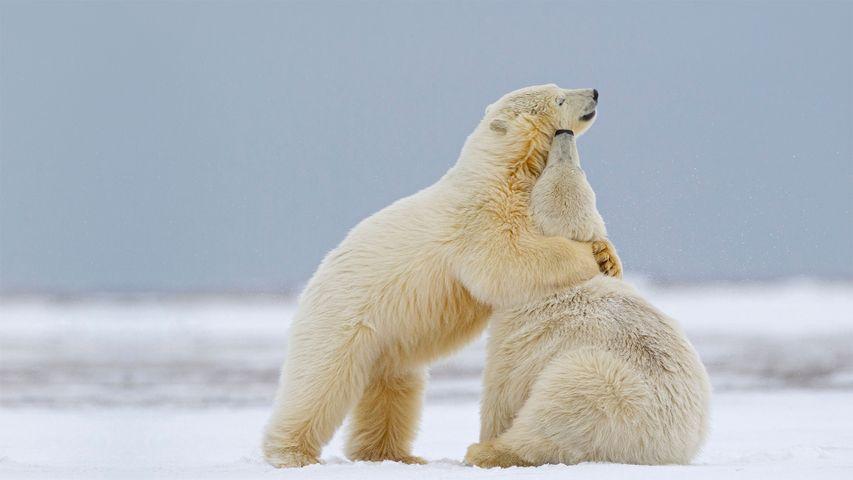 Deux jeunes ours blancs jouant dans la neige en se faisant des câlins, Kaktovik, Alaska