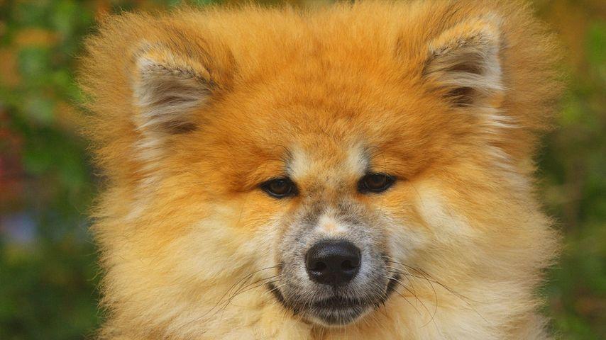 「秋田犬」