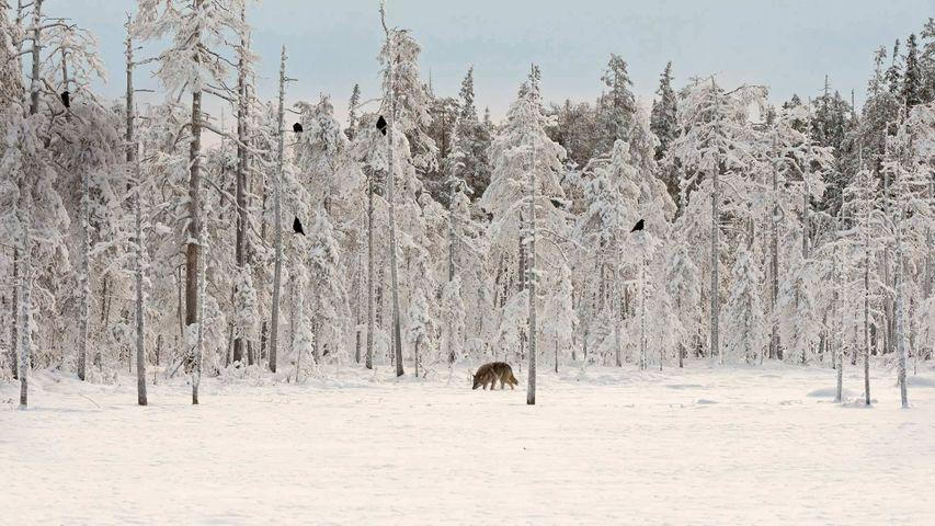 Un loup gris entouré de corbeaux, Finlande