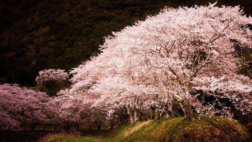 「水辺の桜」兵庫