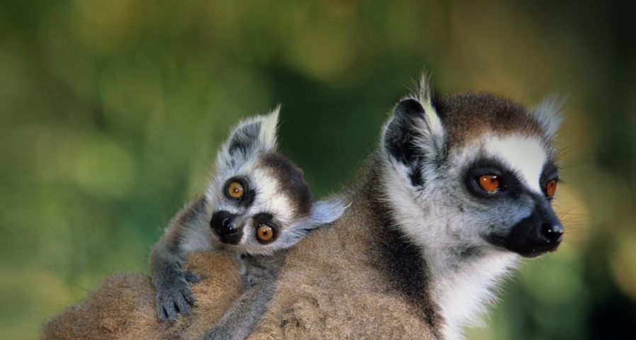 Close-up of a ring-tailed lemur with its offspring