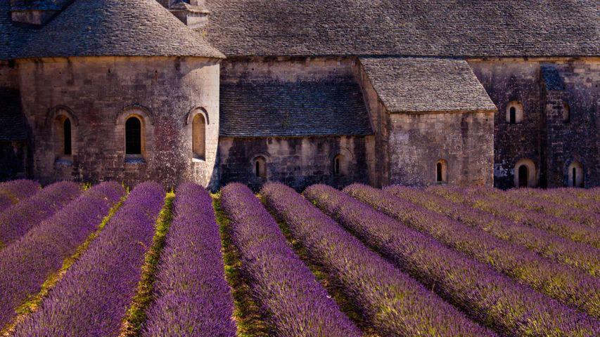 「セナンク修道院のラベンダー畑」フランス, プロヴァンス=アルプ=コート・ダジュール地域圏