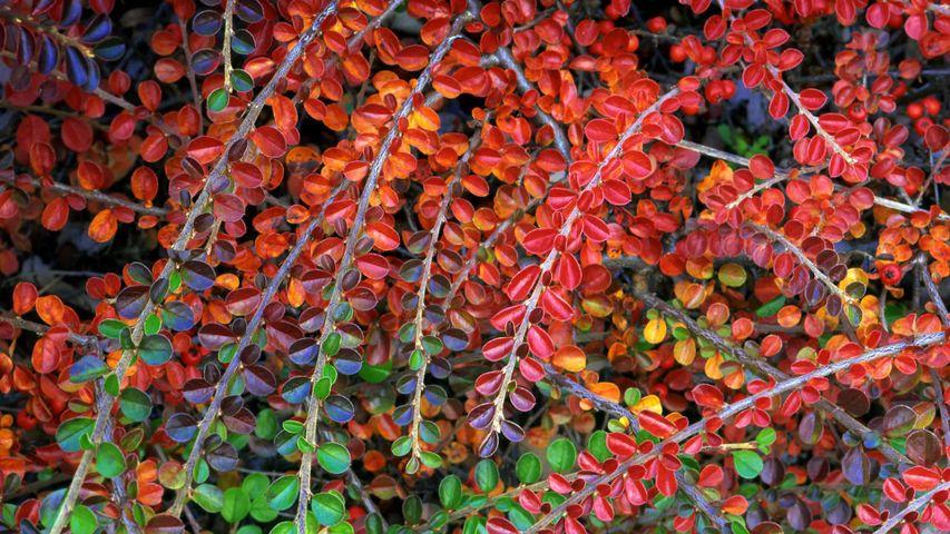 A cotoneaster plant