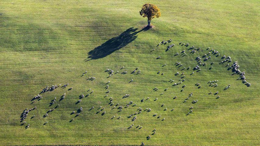 Weidende Schafherde bei Ennabeuren, Heroldstatt, Schwäbische Alb, Baden-Württemberg, Deutschland