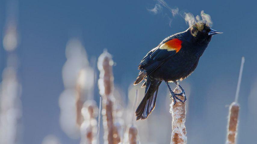 美国,明尼苏达州,明尼阿波利斯市的红翅黑鹂