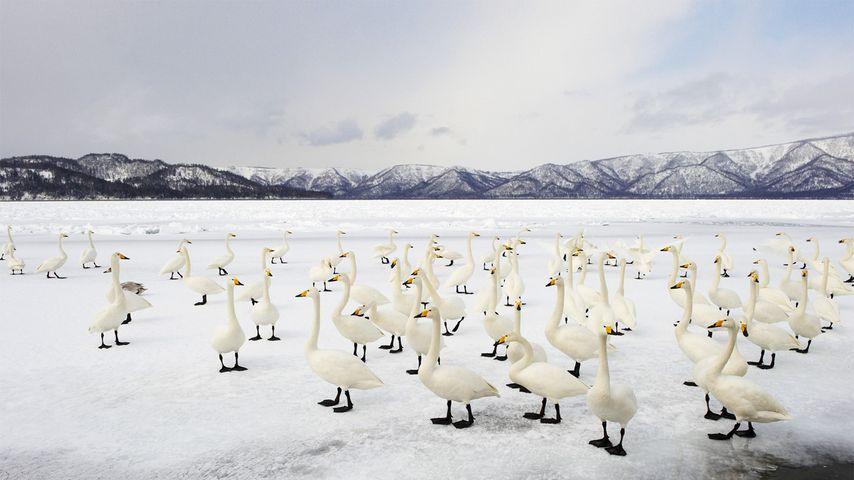 Whooper swans, Lake Kussharo, Akan National Park, Japan