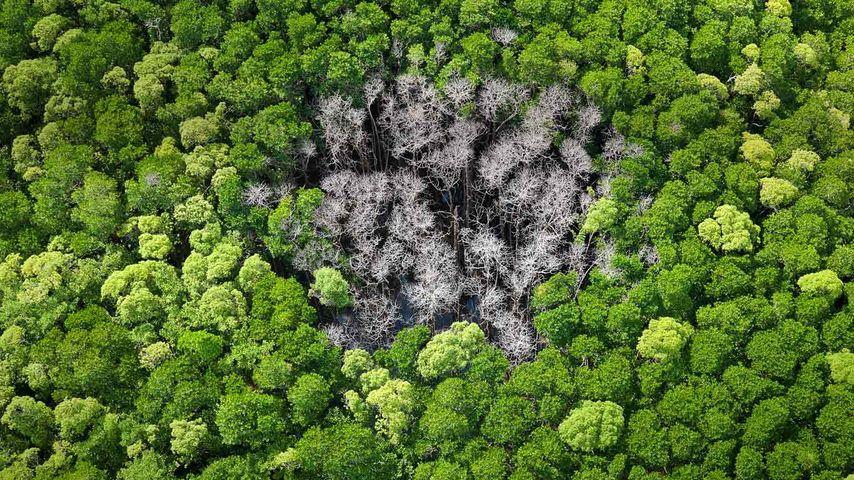 澳大利亚昆士兰极北部,丹特里国家公园中被雷击的热带雨林