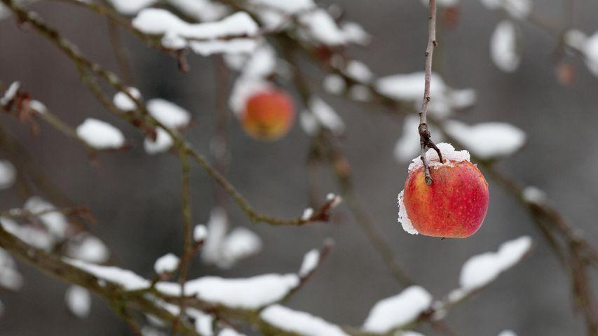 Roter Apfel an einem abgebrochenen Zweig im Winter, Coburg, Bayern, Deutschland