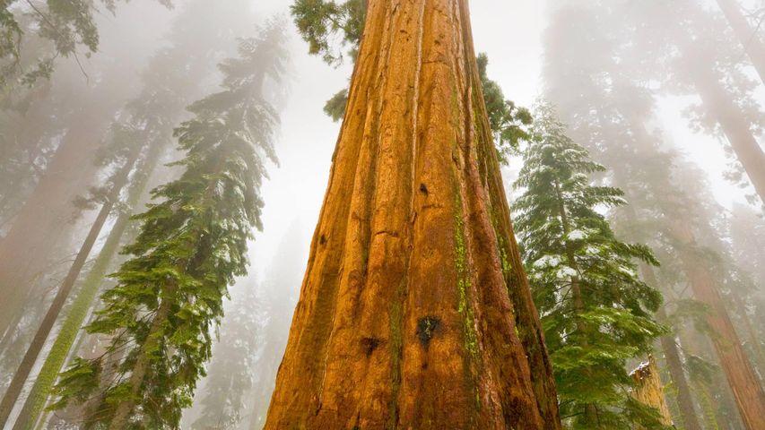 巨杉国家公园内的巨杉,美国加利福尼亚州