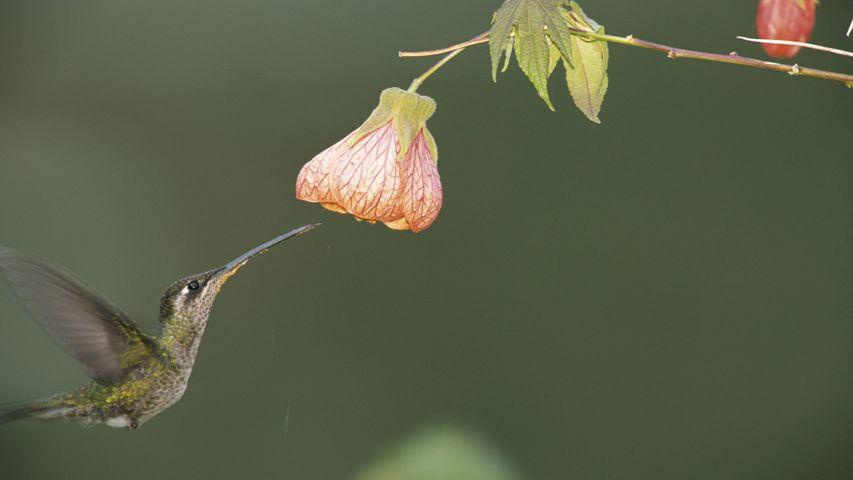 National Geographic Hummingbirds PREMIUM 4K Windows 10 Theme