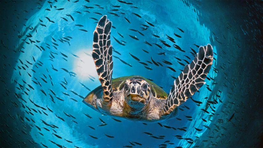 正在潜水的绿蠵龟,澳大利亚大堡礁
