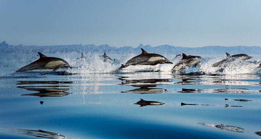 墨西哥湾壮观的的海豚队伍