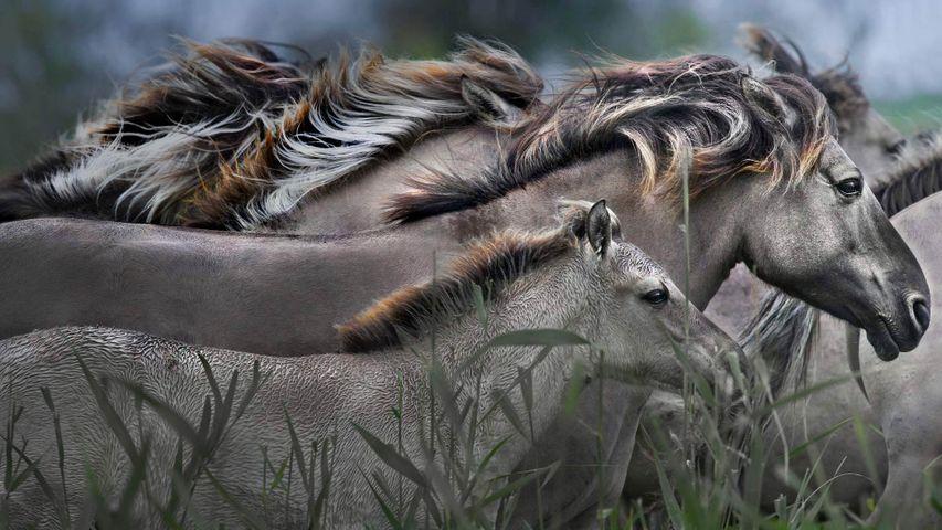 Konik horses running, Oostvaardersplassen Nature Reserve, Netherlands