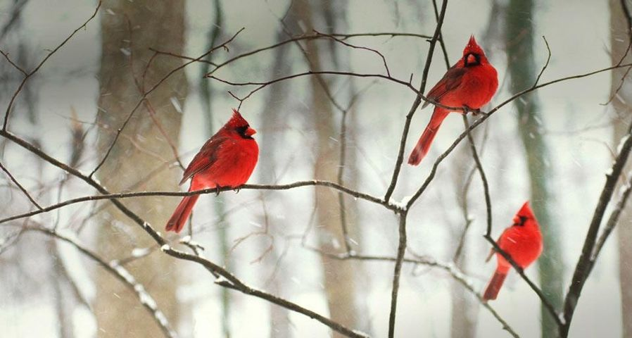 Male northern cardinals in the snow