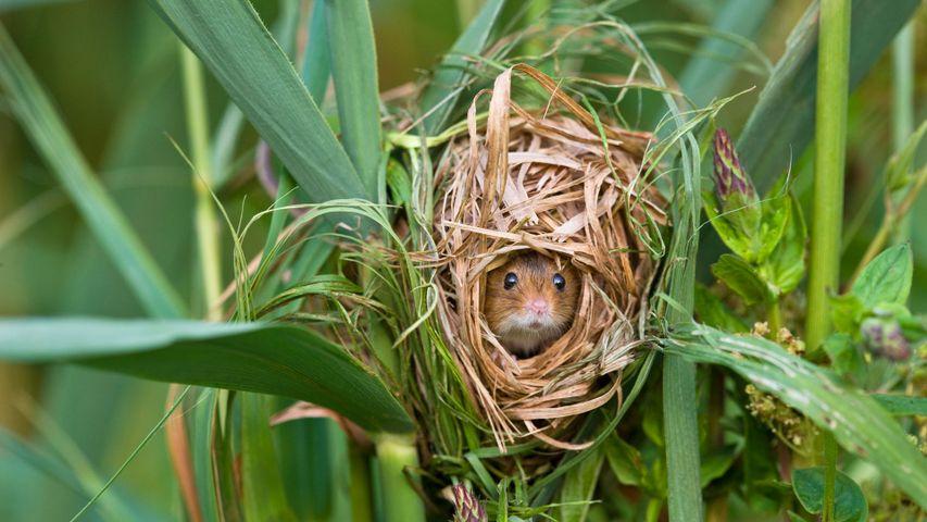 Rat des moissons niché dans des roseaux communs, France