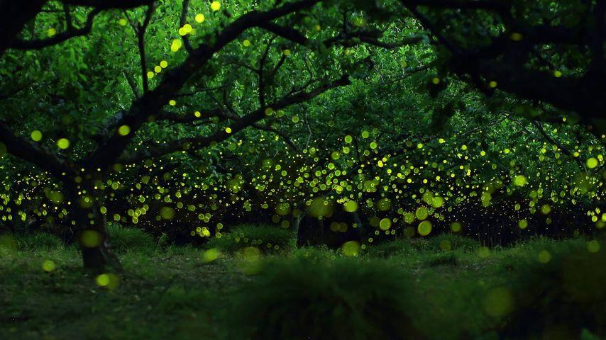 Lucioles dans une forêt près de Nagoya, Japon